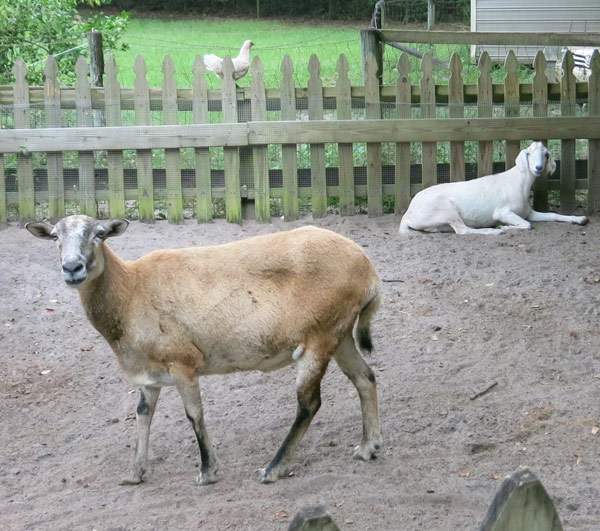 Banjo and Gretel the goat