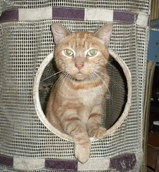 Ginger in a cat tower