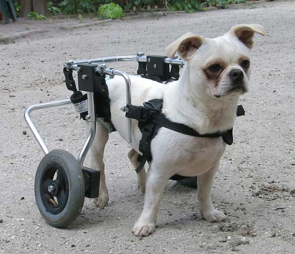 Otis in his doggy wheelchair