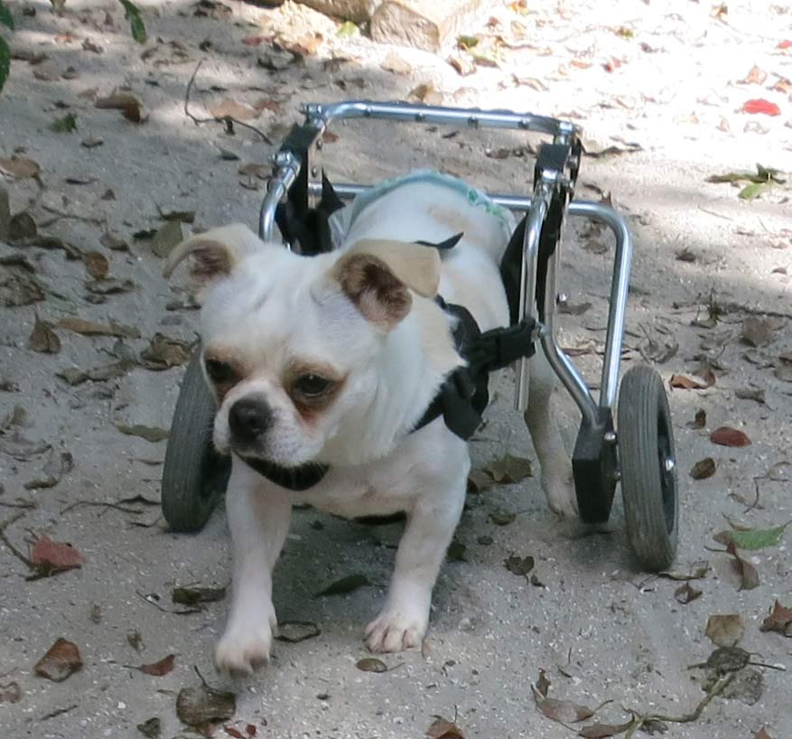 Otis running outside in his doggy wheelchair