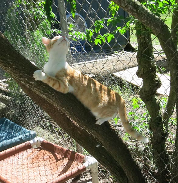 Punkin climbing a tree on the back patio