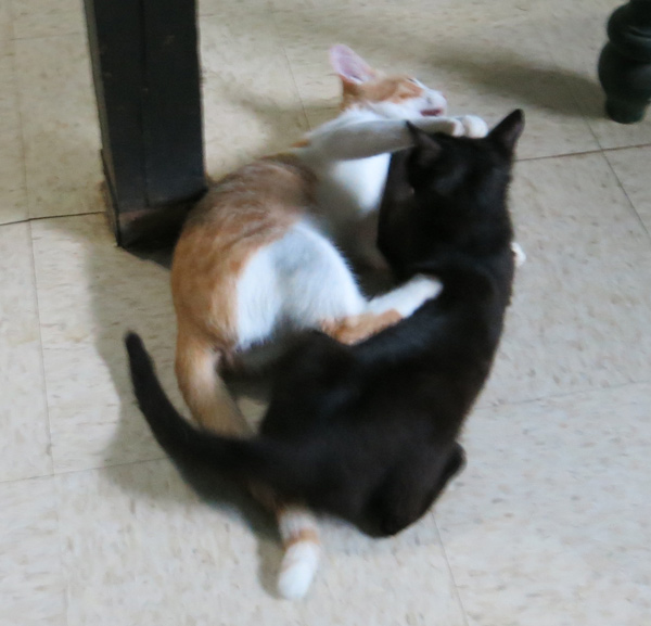 Punkin wrestling with our other kitten Onyx