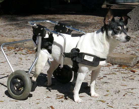 Snow in her doggy wheelchair