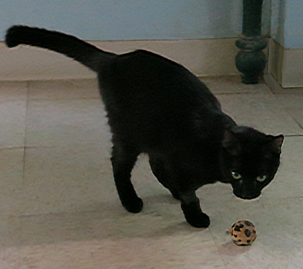 Whoopi, the 3-legged cat, playing with a ball
